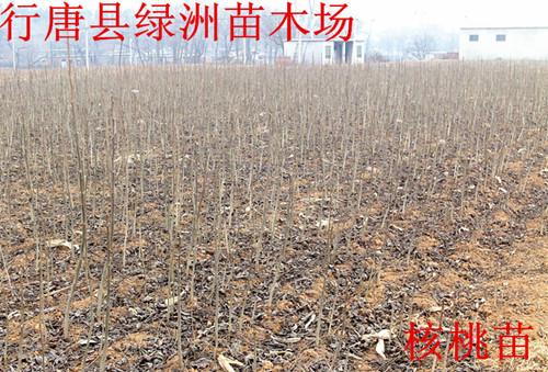 行唐县绿洲苗木场